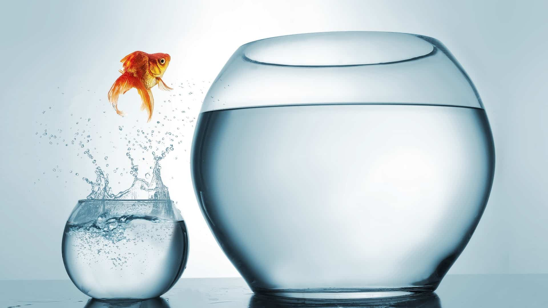 Goldfish leaping out of its small bowl into a larger bowl