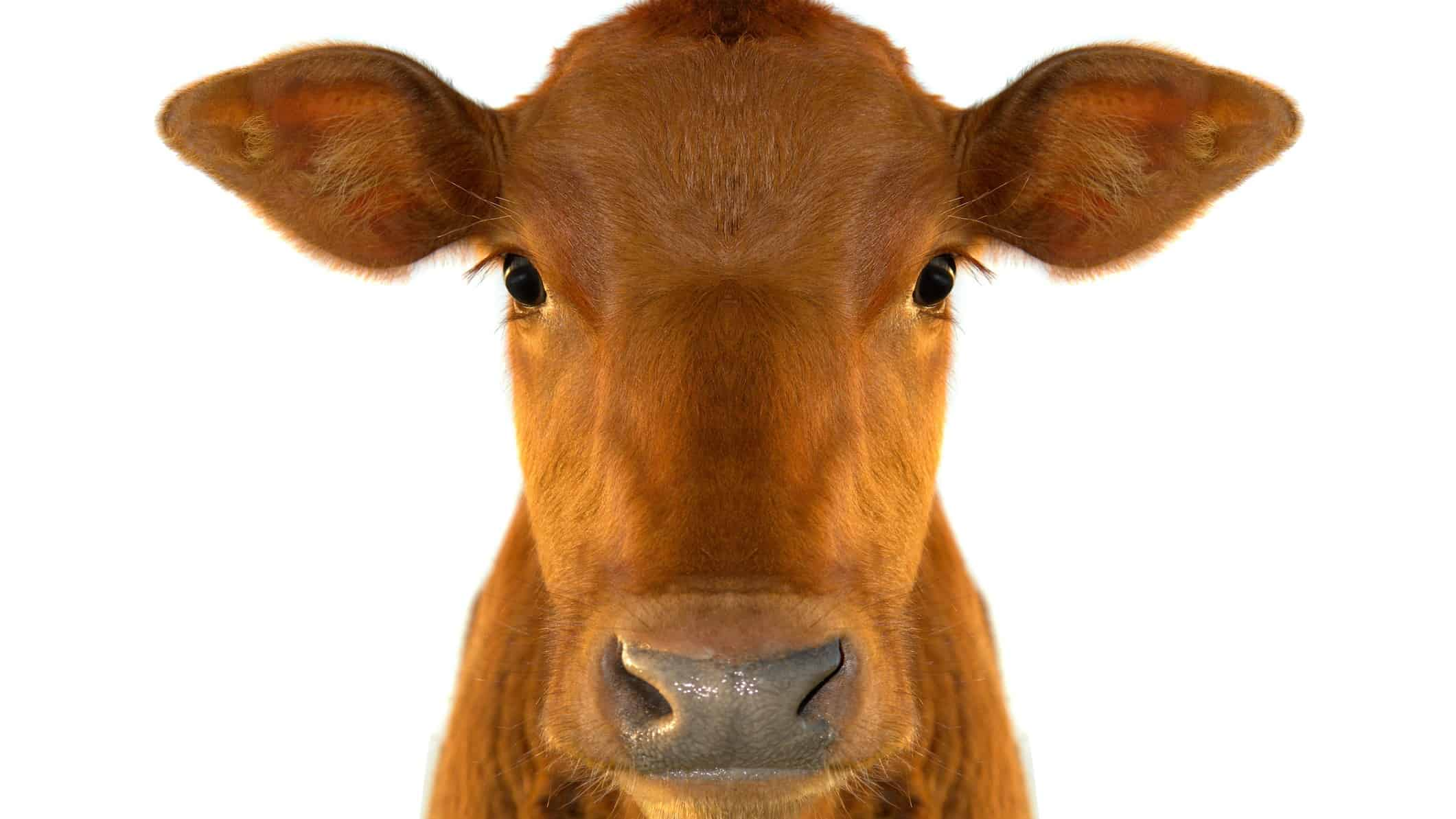 dairy asx share price represented by happy looking cow close up