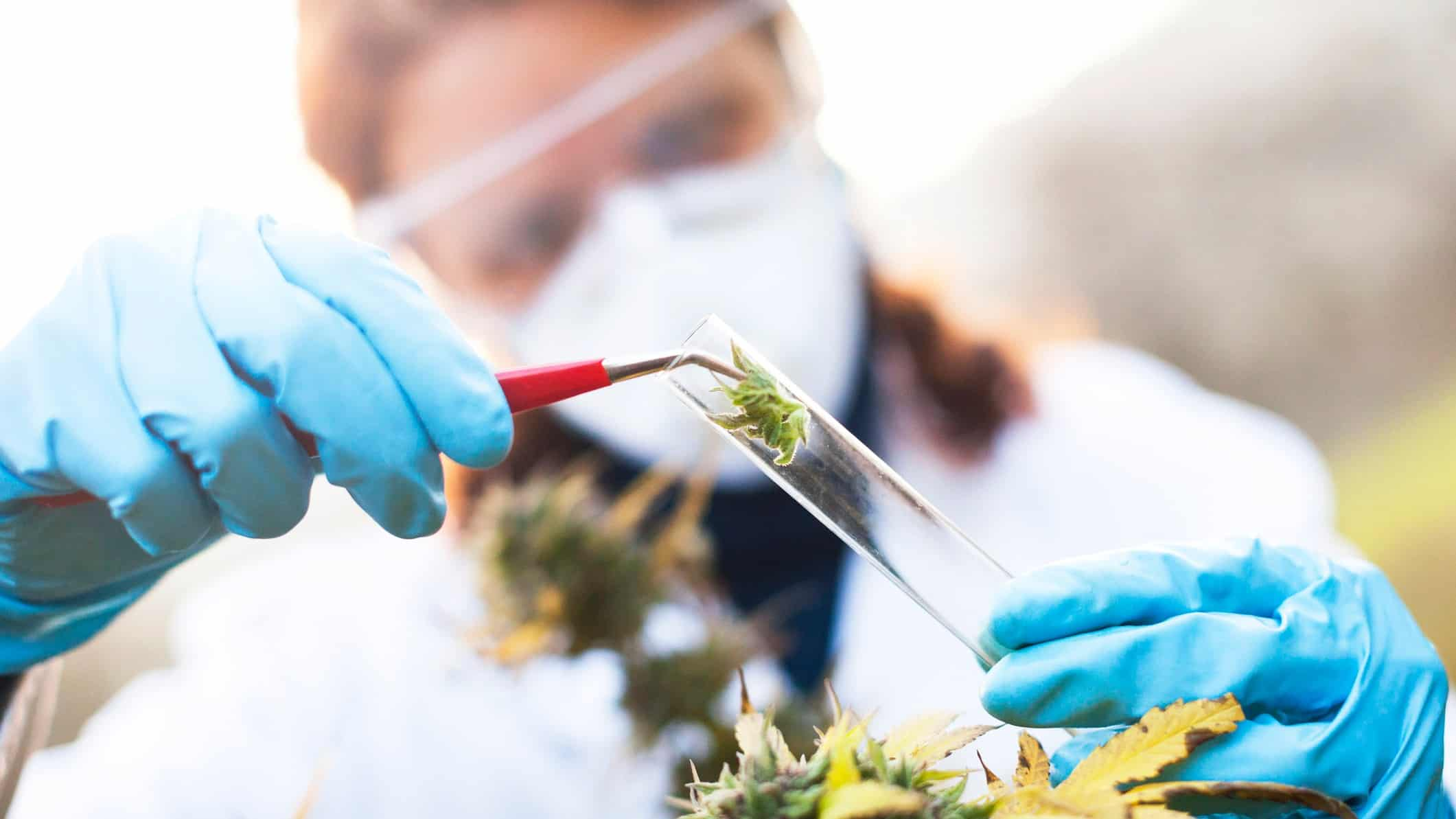 a medical researcher places a cannabis plant bud into a test tube. She is wearing a white lab coat and protective equipment, including a mask, over her face and is in an outdoor setting.