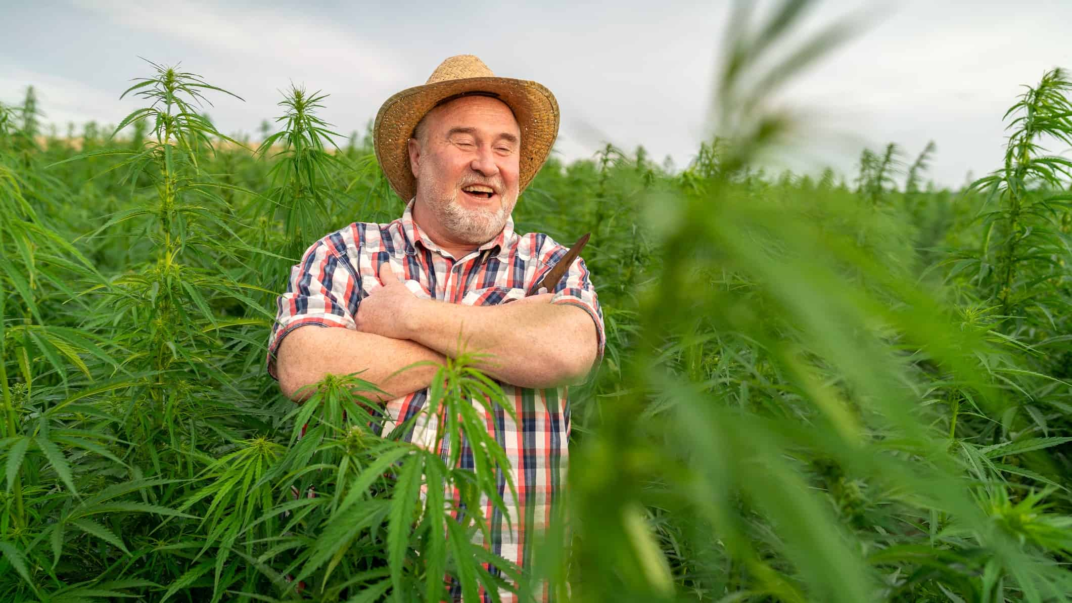 an older farmer wearing a checkered shirt and a straw hat stands in a green field of cannabis plants growing up to waist level as he smiles looking at his crop.