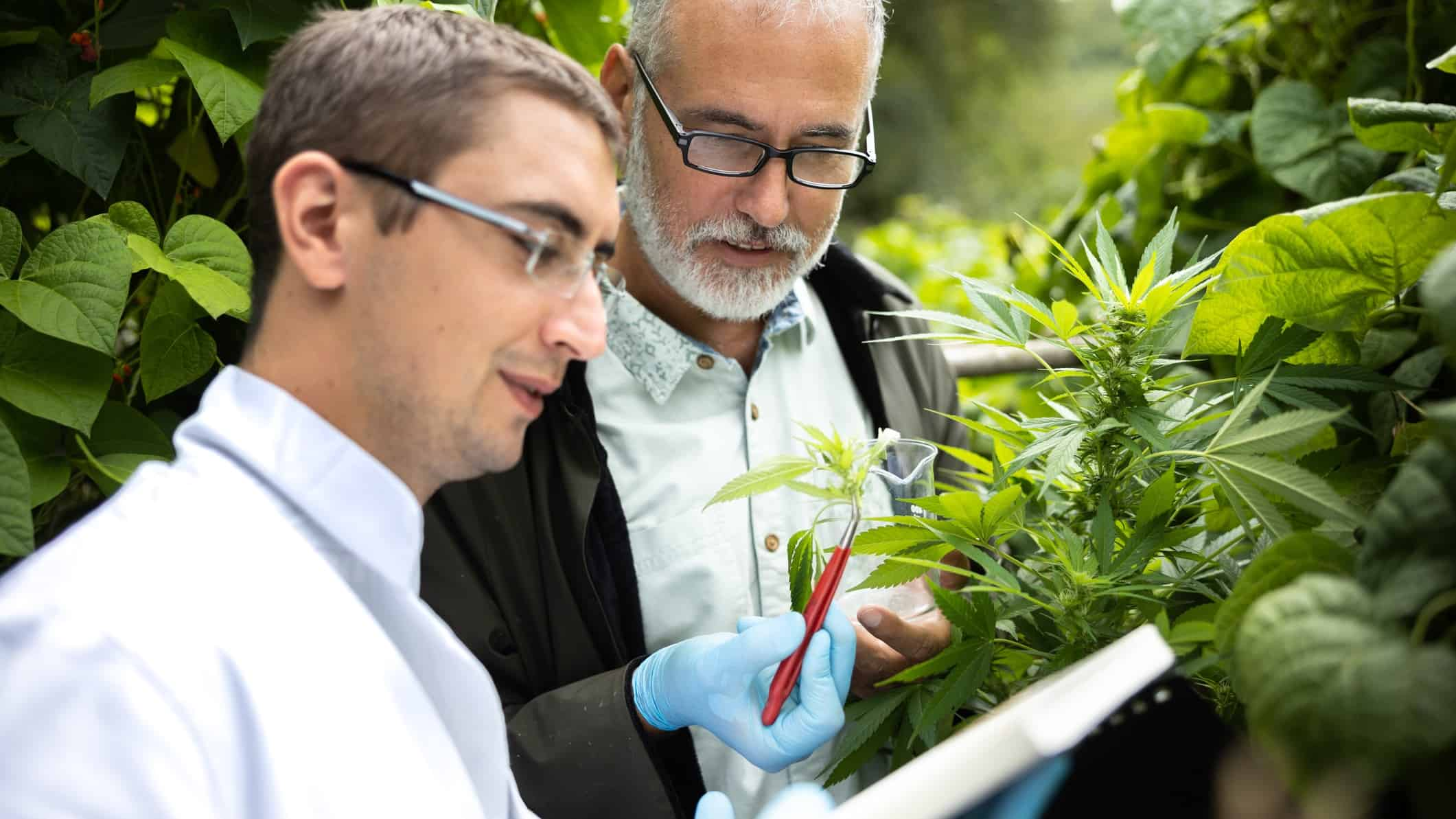 two men in formal business clothing closely inspect a bud from a cannabis crop.